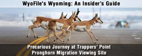 Pronghorn antelope crossing the highway at Trappers' Point in western Wyoming.